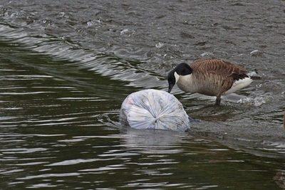 Basura que mata: la ingesta de plástico, un grave riesgo para las aves marinas