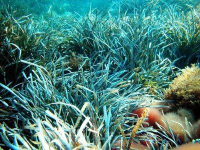 La posidonia puede capturar y expulsar plásticos del océano, según un estudio