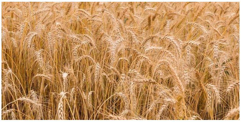 Consiguen producir a gran escala papel tisú a partir de paja de trigo